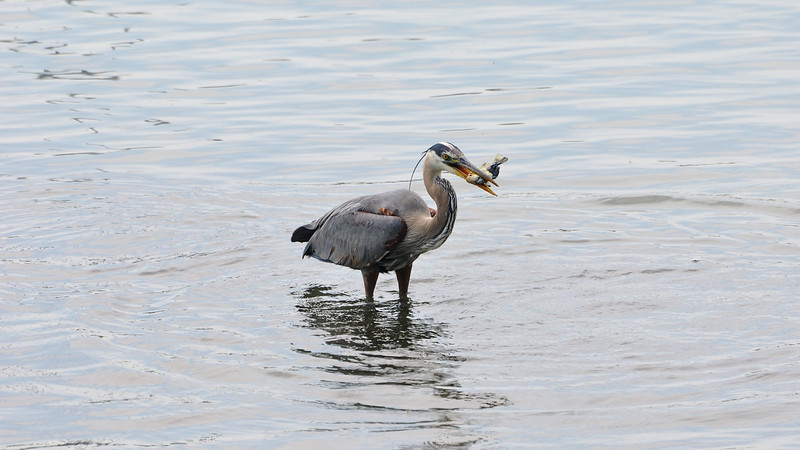 Blue heron with a fish pray in his mouth