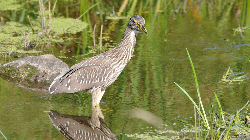 A juvenile Black-crowned Night-Heron fishing in the river.