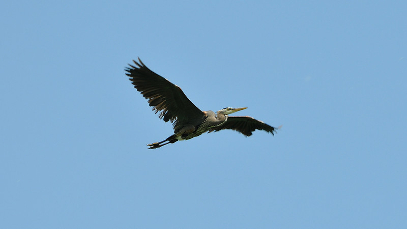 A majestic blue heron flying in a clear blue sky all wings deployed