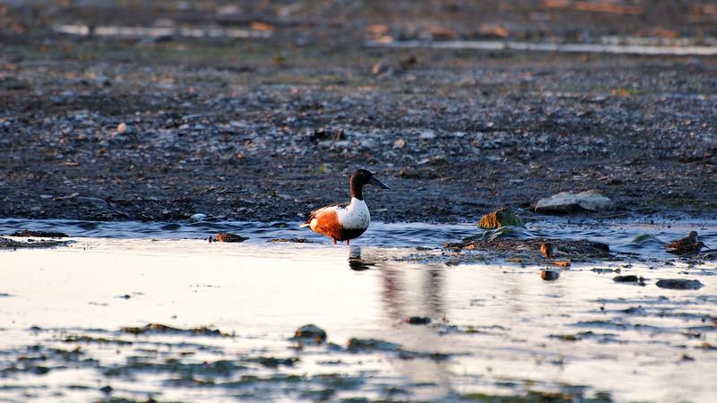 A lonely flat beak duck in sunset time amongst smaller birds