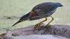 A green heron ready to surge and catch the fish.