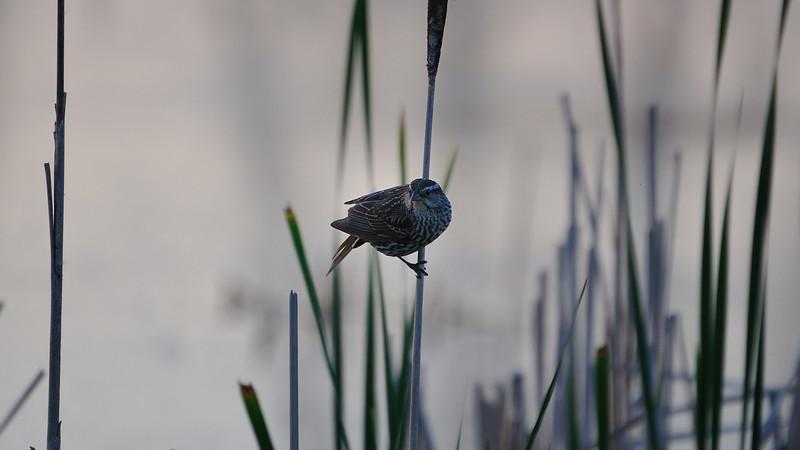 A female blackbird ready to fly