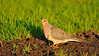 A tender turtledove in a beautiful sunset light.