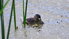 A gentle grebe swimming on a marsh with little flowers as ornaments