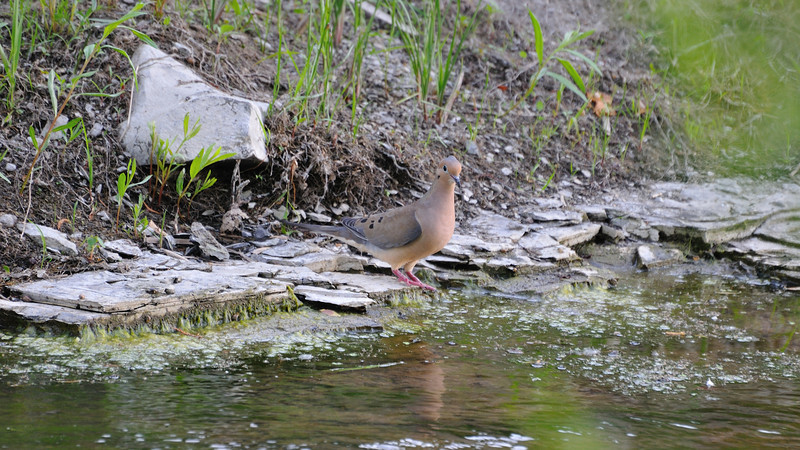 A tender mourning dove near her drinking water