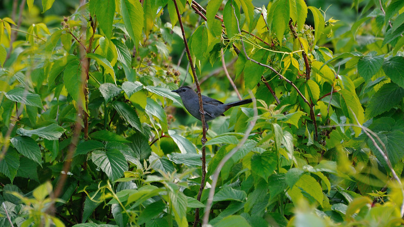 A blue gray little bird with a brillant eye amongst leafs