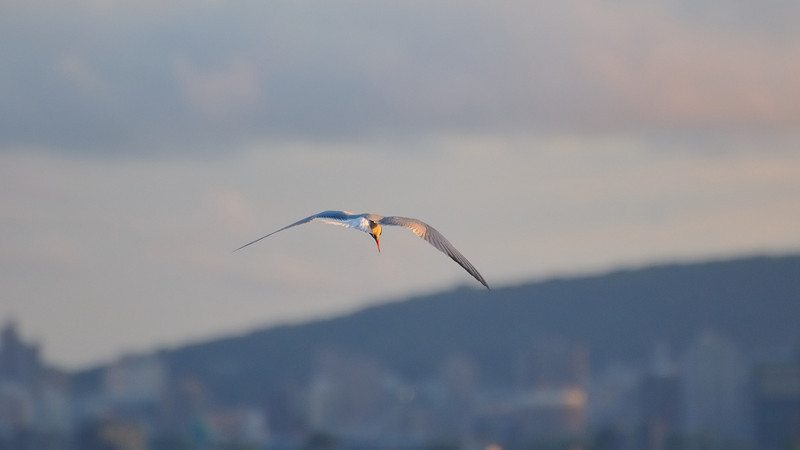 A common tern suspended in the air looking for food under a golden light sunset