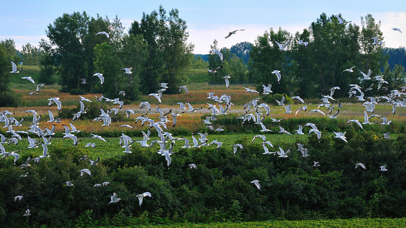 Seagull flock moving from place to place in a field