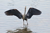 A blue heron standing in water with his wings deployed