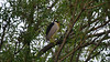 A Black-crowned Night-Heron checking for me up in a tree