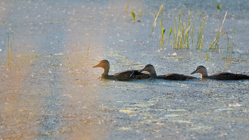 A mother duck and her 2 girls swimming on a marsh in sunset itme