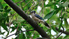 Blue jay in a tree and his intelligent black eye