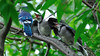 Blue jay babies asking for more food