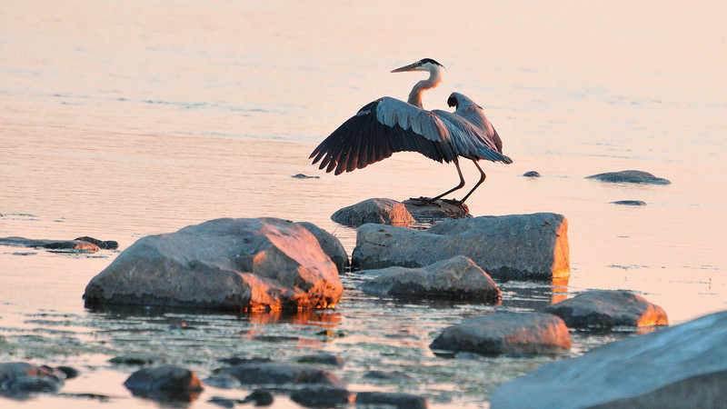 A blue heron landing on a rock with wings still deployed during sunset time