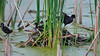 A moorhen family quiting the nest because of the human not to far