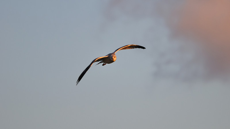 Seagull flying under golden light sunset