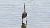 A blue heron is looking right at you