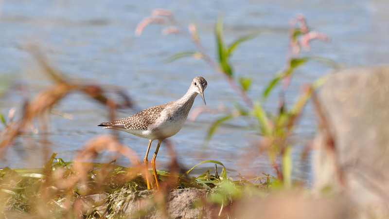 A delicate Greater Yellowlegs posing near the river