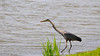 A blue heron ready to dive for a fish on the edge of a pond