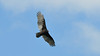 Sparrowhawk vulture flying over the river in a clear blue sky