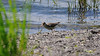 Virginia rail in quest for food along the colorful water