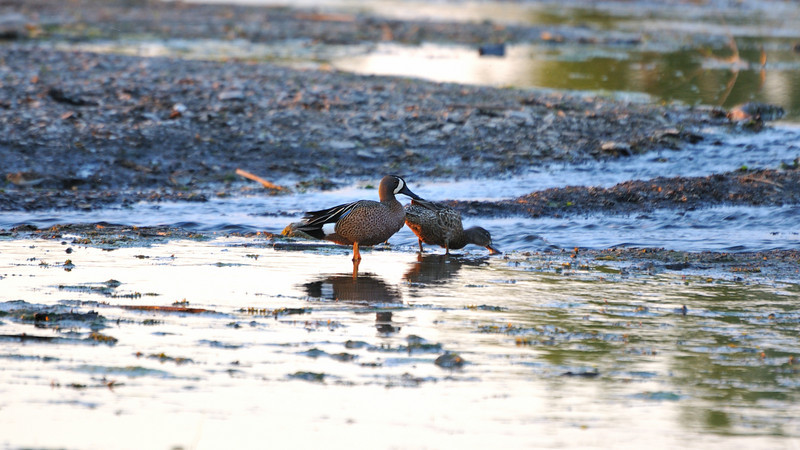 A duck couple in sunset itme