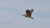 A majestic black crown night heron and his red  eye flying by on a blue sky