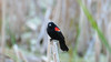 A very severe  red wing blackbird