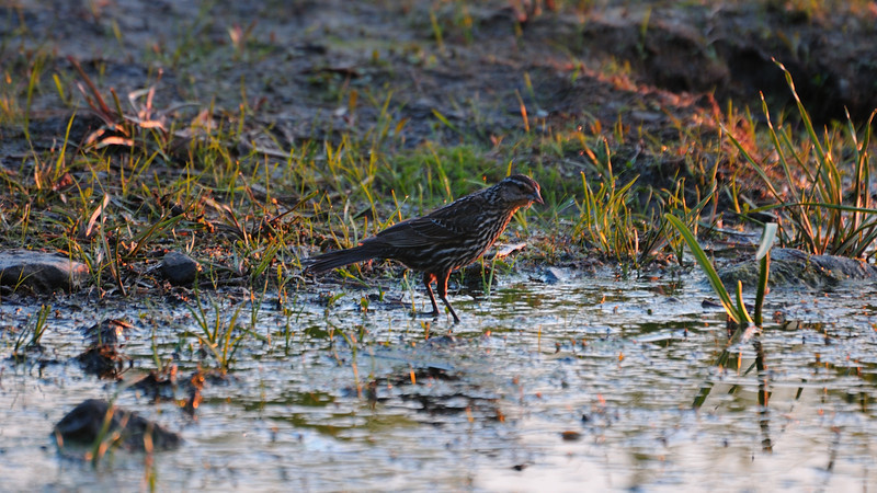 A blackbird female looking for foods near water in sunset light