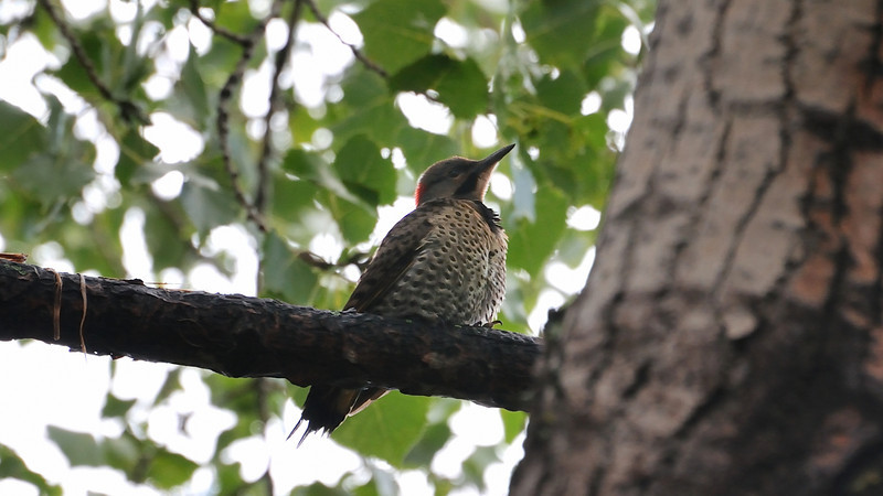 This rare bird was singing in the tree just by my window.