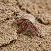 Thailand Red Crab
