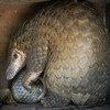 "A sunda pangolin and her baby at Phnom Tamao Wildlife Rescue Centre in Cambodia.<br /> <br /> Mum is a bit wary here as her friends are getting ready for their regular health checks, but her check-up will come another day; aside from their physical armour, they are very delicate creatures prone to stress and are difficult to keep in captivity. The healthiest thing for them on that day was to be left alone to relax.<br /> <br /> This little family is among many rescued pangolins at Phnom Tamao cared for by Conservation International. <br /> <br />  <a href=""http://www.conservation.org"">http://www.conservation.org</a>"