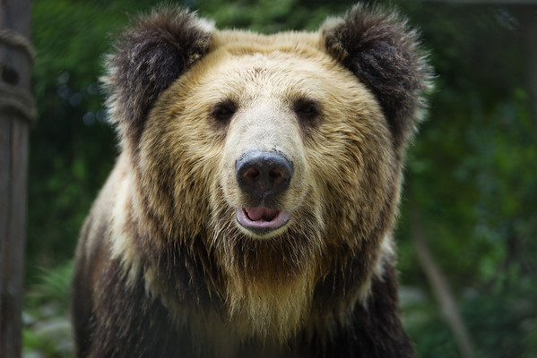 """Poupouce, a Tibetan Brown, strikes her best teddy-bear pose for the camera at the Animals Asia Bear Rescue Centre in Chengdu, China.<br /> <br /> All proceeds go to Animals Asia, who rescued Poupouce. <br /> <br /> <a href=""""http://www.animalsasia.org"""">http://www.animalsasia.org</a>"""