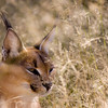 "A caracal at Na'ankuse wildlife sanctuary in Namibia. <br /> <br /> All proceeds from prints go towards the animals at Na'ankuse.<br /> <br /> <a href=""http://www.naankuse.com"">http://www.naankuse.com</a>"