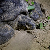 "A mama turtle on Selingan Island, Malaysia, rests after laying her eggs. After burying them she will make her way back down to the sea. <br /> <br /> All print proceeds go to Turtle Foundation, who run sea turtle conservation programmes throughout Indonesia and Borneo.<br /> <a href=""http://www.turtle-foundation.org"">http://www.turtle-foundation.org</a>"