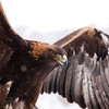 "A steppe eagle taking flight at the Sunkar Raptor Sanctuary in Almaty, Kazakhstan.<br /> <br /> It's tough getting donations to Kazakhstan! Your donation goes to WWF HK, who run the Mai Po Wetlands Nature reserve for wild birds in Hong Kong.<br /> <a href=""http://www.wwf.org.hk"">http://www.wwf.org.hk</a>"