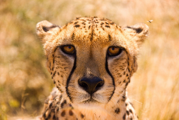 "This female cheetah lives at Na'ankuse wildlife sanctuary in Namibia. <br /> <br /> All proceeds from prints go towards the animals at Na'ankuse.<br />  <a href=""http://www.naankuse.com/"">http://www.naankuse.com/</a>"