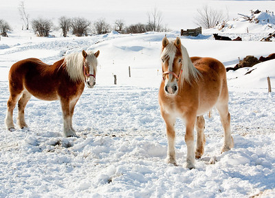 Horses in the Snow near Hancock, NH