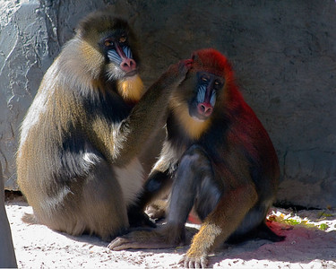 Mandrill Mother and Child