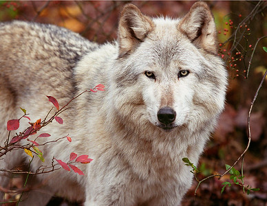 Gray Wolf with Berries