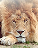 Frowning Lion