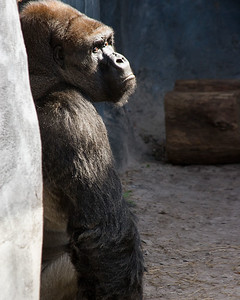 Gorilla Contemplating....