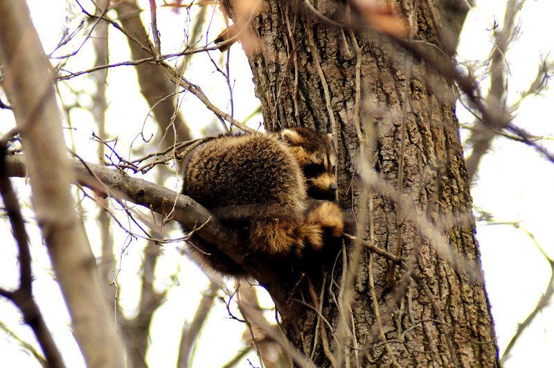 little  one  perched  about   35 feet  up  in  a  tree    pgoto  taken  02.11.12  at  Merrill  Creek