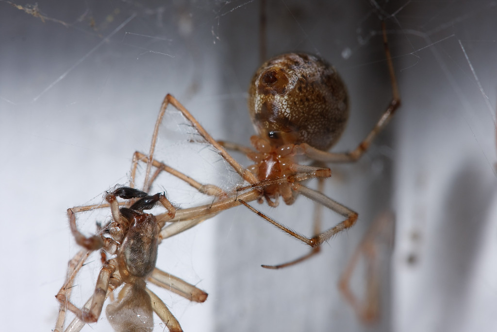 House spider cannibalism