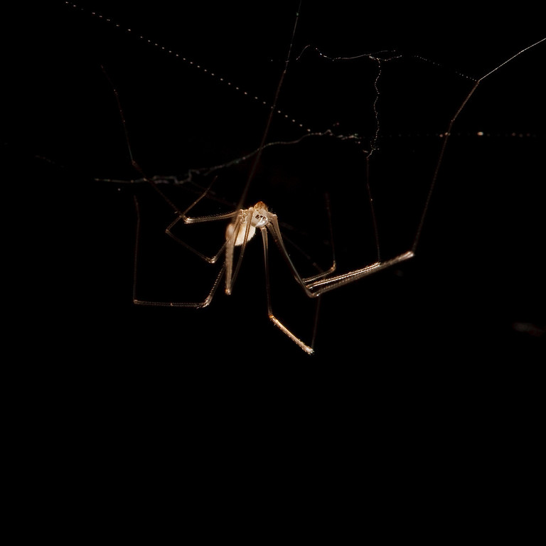 cellar spider on black