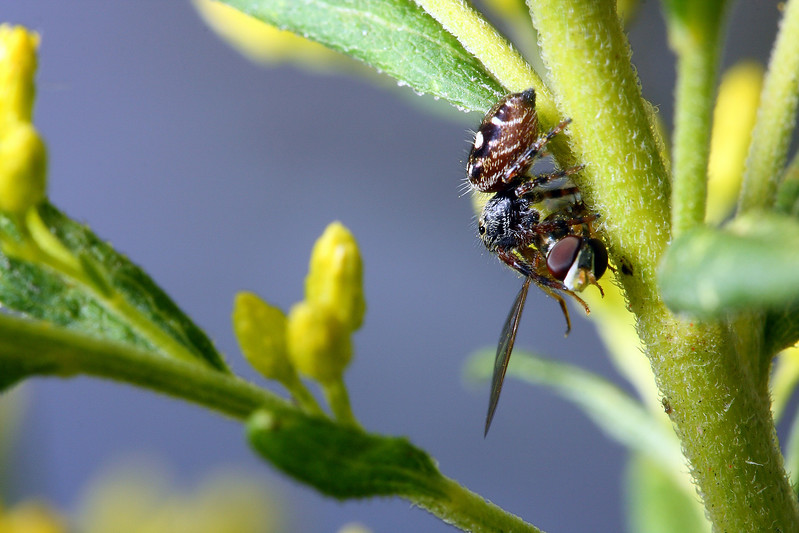A jumping spider clings to the stem of a plant with its prey, a freshly-caught hoverfly.