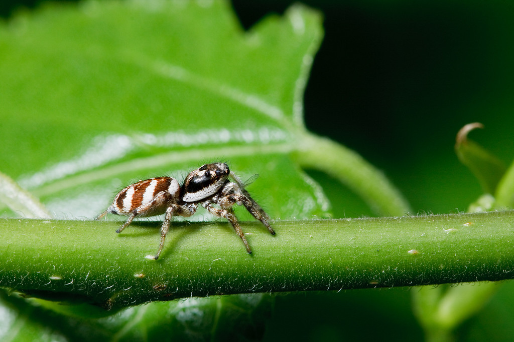 Zebra spider with prey