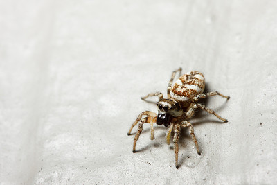A zebra spider (Salticus scenicus) climbing on a white wall looks back at the photographer.