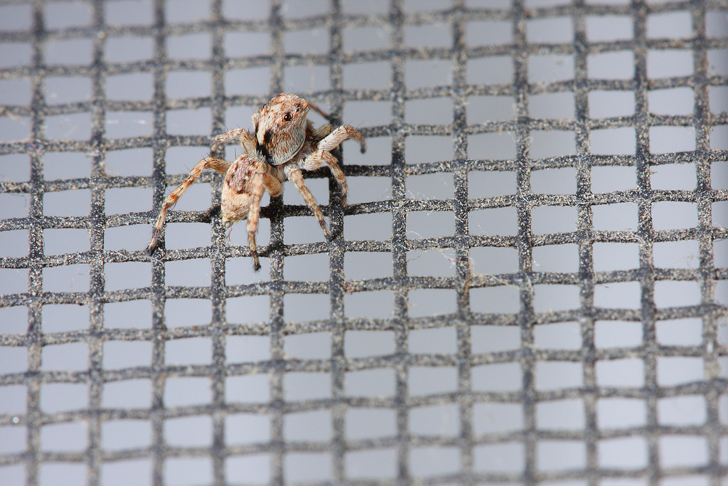 A small jumping spider on a window screen.