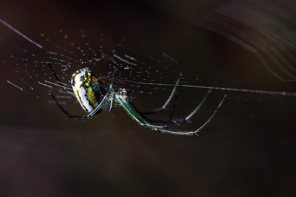 A colorful orchard spider (<i>Leucauge venusta</i>) hangs upside-down in its orb web.